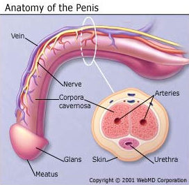 institute Penis health